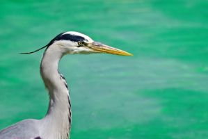 Grey Heron by Tazmaniac13