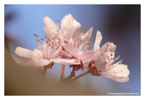 blossoms II by thestargazer23