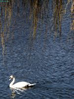 swan under the branches by IamNasher