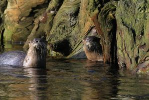 river otters by BCMountainClimber