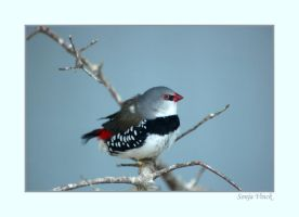 Diamond Firetail by Lentekriebel