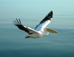 Flying White Pelican by Serendith