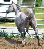 Grey quarter horse trot and turn from back by equustock