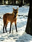 Maned Wolf. by quaddie