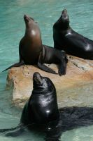 Pinniped by Drezdany-stocks