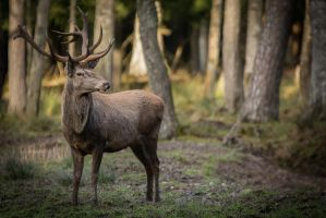 Deer, SCH I by FGW-Photography