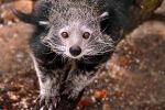 The ever amazing binturong by Tienna