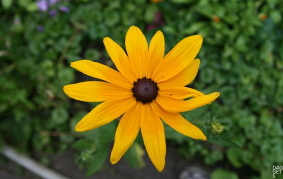The Yellow FLower by daggets
