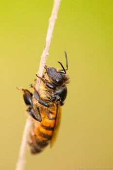 Bee on a stick by isotophoto