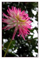 A Dahlia Celebration by TeaPhotography
