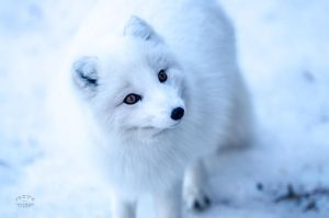 Arctic Fox - Feed me I am cute! by JestePhotography