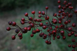 red berries by LeandrasStock