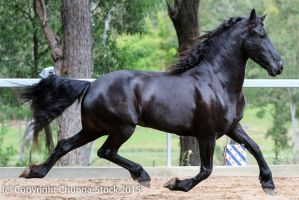 E Friesian side view black huge trot all legs off by Chunga-Stock