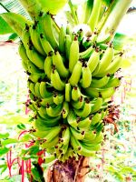Day 69. Banana plant by lilvdzwan
