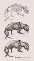 Possum Muscular and Skeletal Systems by aaronjohngregory