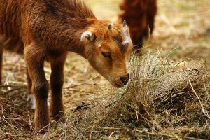 Baby Goat 4 by S-H-Photography