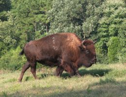 American Bison 20D0013007 by Cristian-M