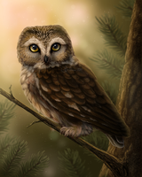Northern Saw-Whet Owl by Sidonie