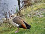 Egyptian Goose by Myst-Moon
