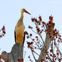 Another white stork by Jorapache