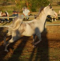 JA Grey Arab Trot SIde view tail curled by Chunga-Stock