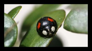 Black and Red Ladybird by angela80b