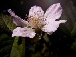 Blackberry Blossom II by MadeleineAlana