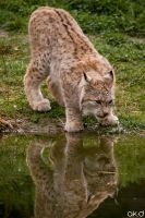 Lynx drinking by Mob1