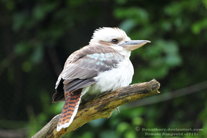 Laughing Kookaburra by Renathory