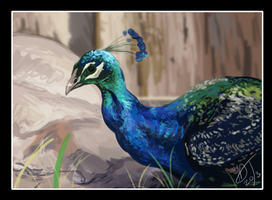 Peacock by DawnFrost