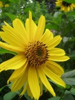 .stock: yellow daisy. by guavon-stock