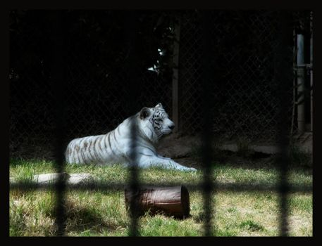 white tiger by StareDecisis