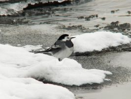 White wagtail by 75ronin