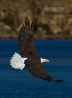 American Bald Eagle Flight by w4graphics