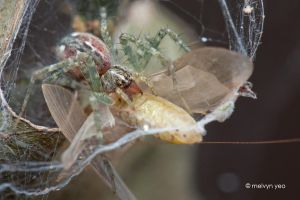 Nursery web spider by melvynyeo