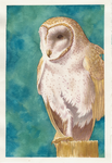Barn Owl 2 by AucoinArt