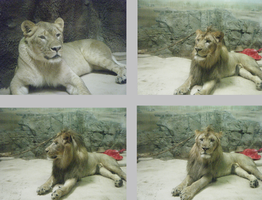 Lions stock pack by Lythre-does-photos