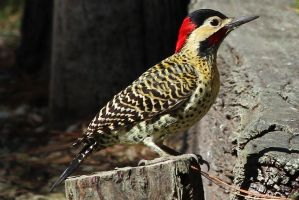 Carpintero Woodpecker by AlejandroCastillo