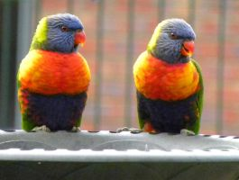 two Rainbow lorikeets by Buble