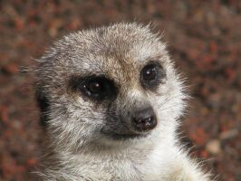 Close up Meerkat by xxTanzi28xx