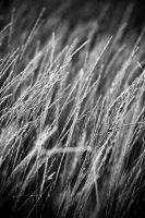 Wave of grass II by carrex