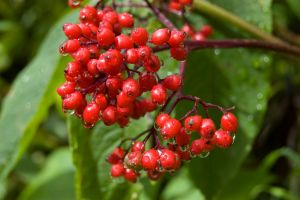 Wet Red Berries by ByronGiant