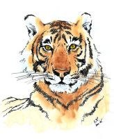 Tiger in ink with watercolour by ronnietucker