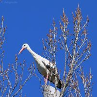 White stork on blue by Jorapache