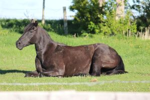 Black Horse Lying Down 3 by eluhfunt-stock