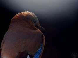 Eurasian Jay II by webcruiser