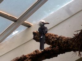 White Crowned Hornbill by WolfieMaster
