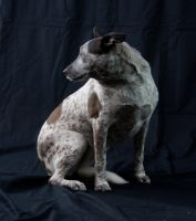 Australian Cattle Dog 14 by kirilee