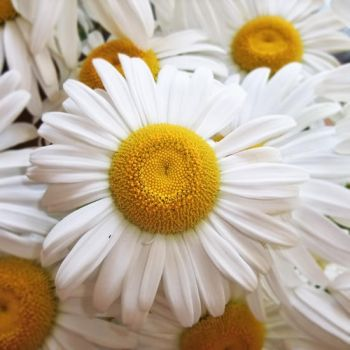 camomile by a-place4my-head
