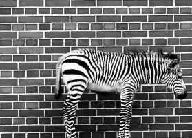 zebra by anasma